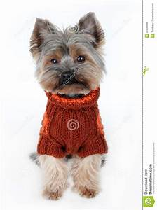 Cute Yorkshire Terrier In Winter Clothes Stock Photo ...