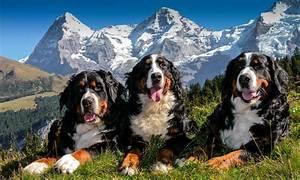 Bilder Zum Kaufen : berner sennenhunde zucht zuchtst tte zum schangnauergl ck berner sennenhunde kaufen ~ Yasmunasinghe.com Haus und Dekorationen