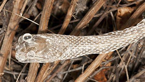 snake skin shed preservation tortoise preserve