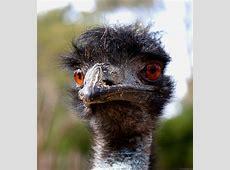 National Animal Of Australia Emu 123Countriescom