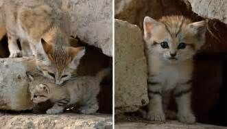 how are cats for sand cats where the adults are kittens and the kittens