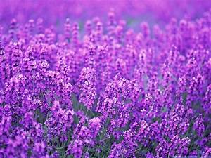 Lavender Picture For Wallpaper | WeNeedFun