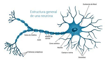 inspiracion biologica de las redes neuronales artificiales