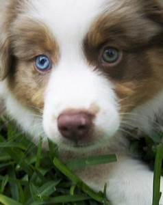 AUSSIE | Diggity Dogs | Pinterest | The two, Eyes and ...
