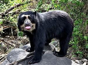 Tremarctos ornatus - Spectacled Bear   Favorite Creatures ...