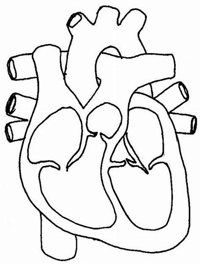 Heart Human Diagram Coloring Label Pages Clipart