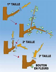 Tailler Les Kiwis : planter un espalier ou une palmette chez vous ma passion du verger ~ Farleysfitness.com Idées de Décoration