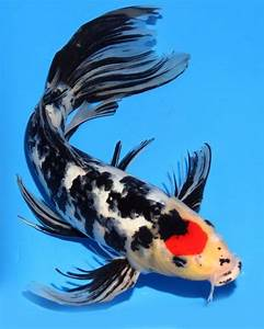 "Live koi fish 15-16"" Tancho Sanke Butterfly Red-White ..."