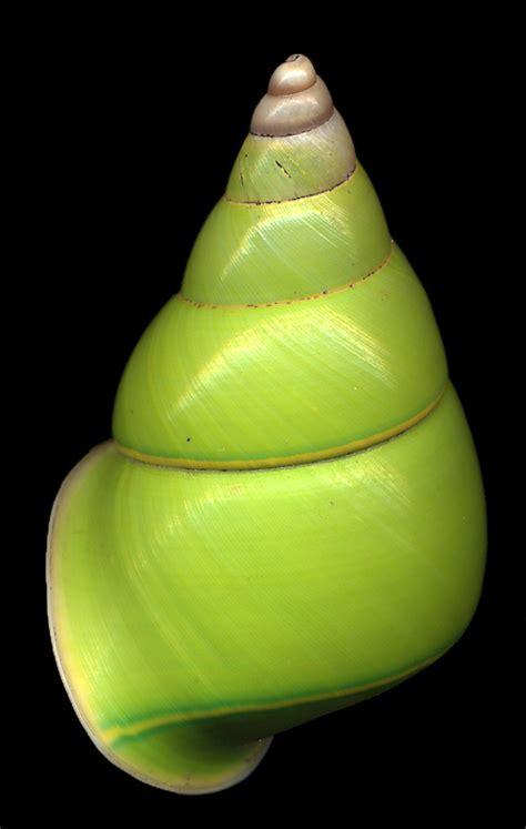 Papuina pulcherrima (Rensch 1931)