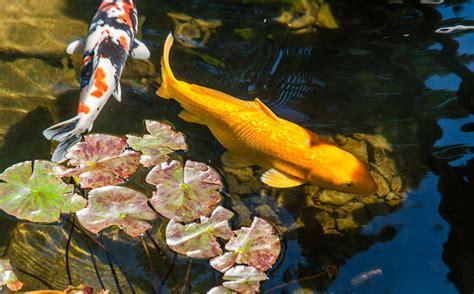 Escargot Japonais Pour Bassin