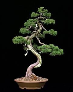 Chinesischer Wacholder Bonsai : bonsai webseite von putz w ~ Sanjose-hotels-ca.com Haus und Dekorationen