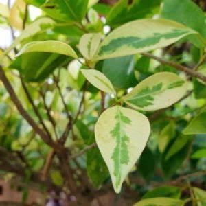 Bougainvillea Blüht Nicht : kartoffelsorten die besten 50 sorten im berblick plantura ~ Lizthompson.info Haus und Dekorationen