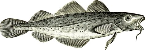 Image result for free Images of Cod Fish