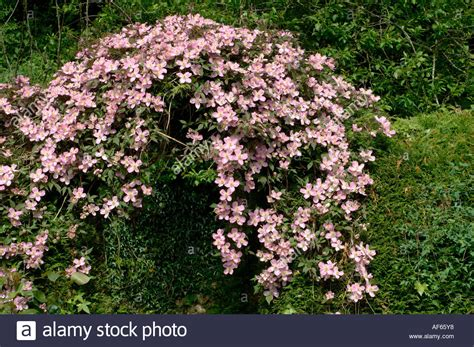 Clematis Montana Plant Climbing Over Leylandii Hedge Arch