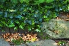 Efeu Als Zimmerpflanze : efeu im garten anbauen und pflegen ~ Indierocktalk.com Haus und Dekorationen
