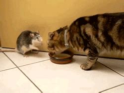 cat mouse gif find share  giphy