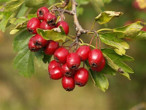 small tree with berries tree identification crataegus laevigata english hawthorn