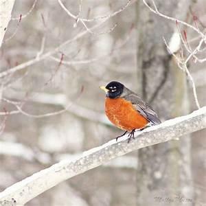 Robin on Tree Branch Photograph, Winter Woodland Scene