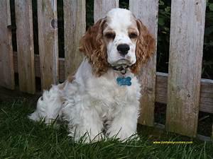 English Cocker Spaniel ~ Dog Breeds Galleries