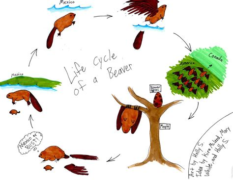 lifespan of a the beaver life cycle by uraptora on deviantart