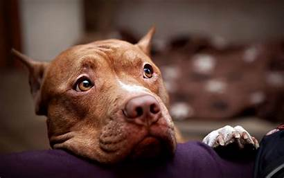 Pitbull Dog Wallpapers Pit Bull Dogs Puppies