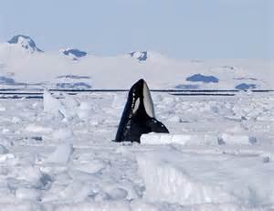 Animal Killer Whale Antarctica
