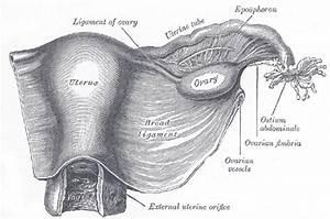 Ovarian Ligament