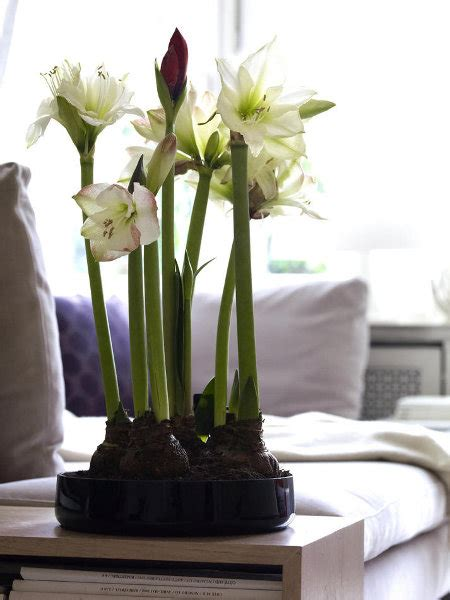 Indoor Window Ledge by Hippeastrum Amaryllis Blooms For Window Ledge In Living
