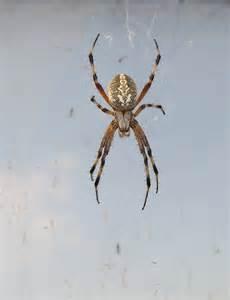 Poisonous Spiders Texas