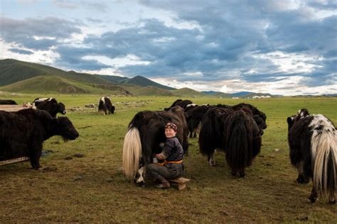 Stay With A Family Of Yaks Herderds' Cooperative