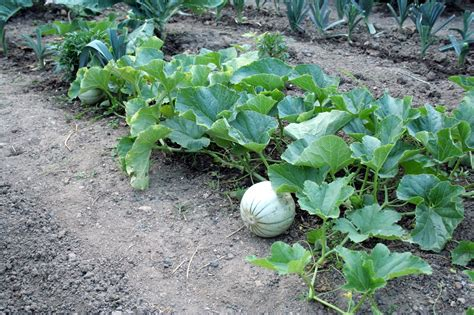 file melon plant jpg