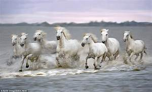 White Camargue horses race along France's Rhone River in ...