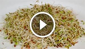 Comment Faire Germer Une Graine : comment faire germer des graines d 39 alfalfa ~ Melissatoandfro.com Idées de Décoration