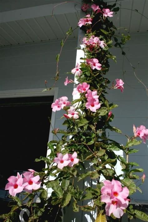 17 Best Images About Vines On Pinterest  Gardens, Jasmine