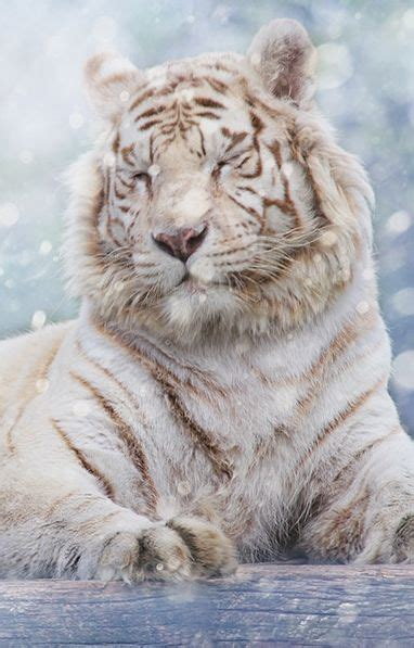 Pin Lisa Morris Tigers Gatos Salvajes Animales
