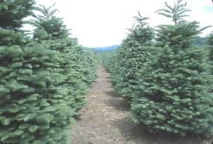 tips for fresh cut christmas tree selection and care hoosier gardener