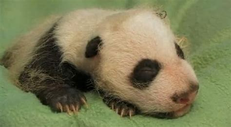 Peaceful Panda Cub Debuts In Atlanta Zooborns