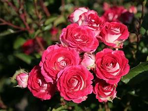 Schöne Bilder Kaufen : beetrose 39 sch ne koblenzerin 39 39 marie rottrov 39 rosa 39 sch ne koblenzerin 39 39 marie ~ Orissabook.com Haus und Dekorationen