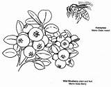 Coloring Blueberry Maine Pages Blueberries Bee Printable Colouring Berry State Symbols Clipart Honeybee Honey Gov Books Fun Template Pdf Games sketch template