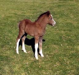 Welsh A Pony Foals | colt filly | For Sale | Bellingara Stud