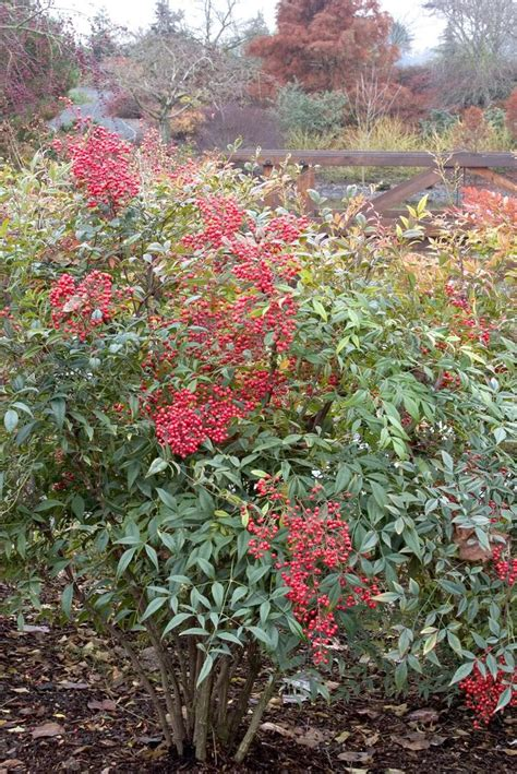 shrub with berries in winter 5 great plants for fall winter berries trees the winter and plants