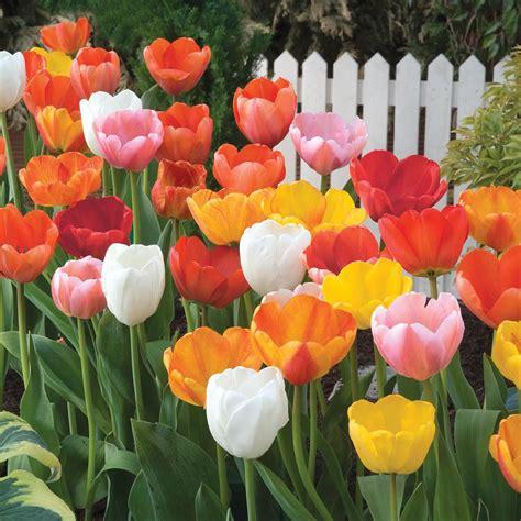 tulip  home depot