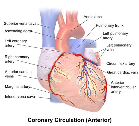 To Heart Right Coronary Artery Blood Flow Chart