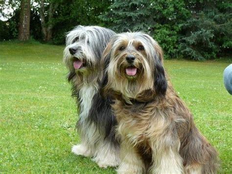 Fellpflege Tibet Terrier