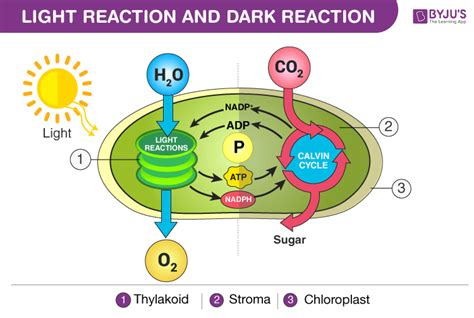 Where In The Chloroplast Do The Light Reactions Occur by Difference Between Light Reaction And Reaction