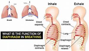 What Is the Function of Diaphragm in Breathing - Hours TV