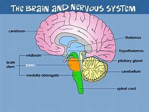 Your Brain  U0026 Nervous System