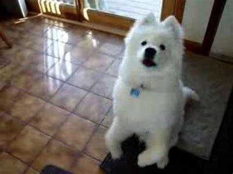 samoyed puppy begging youtube