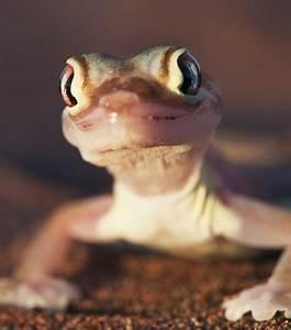 Se Débarrasser Des Araignées : photo le gecko pachydactylus rangei se nourrit de ~ Louise-bijoux.com Idées de Décoration