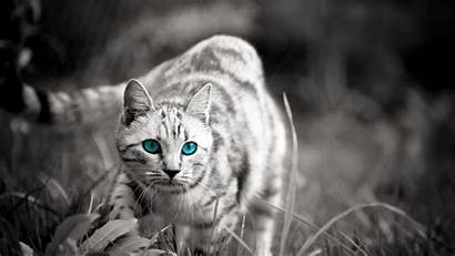 Wild Wallpapers Cat Cats Backgrounds Wide Wallpapertag